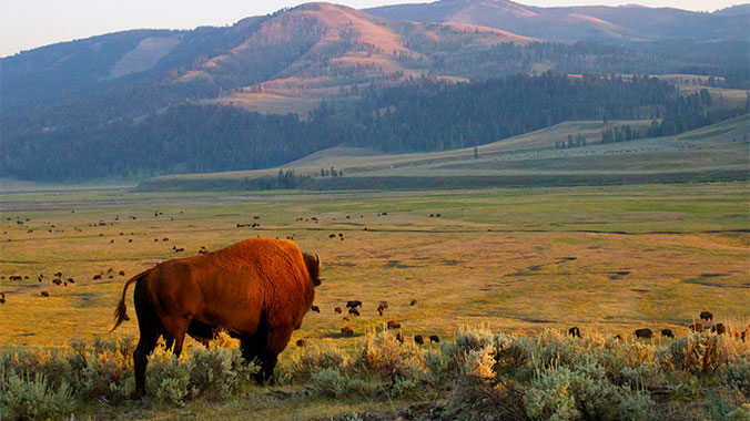 Wildlife in Yellowstone and Grand Tetons National Park
