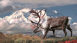 https://roadscholar-iv-prod.azureedge.net/publishedmedia/73wvg8djjqzmc5jlbv5m/1012-alaska-national-parks-denali-kenai-caribou-smhoz.jpg