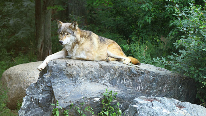 Discover the Wonder of Wolves With Your Grandchild