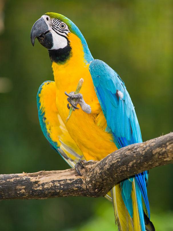 Wild Amazon - Macaw